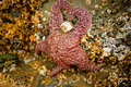 Starfish Holding Rings Stock Images