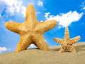 Starfish parent and starfish child Royalty Free Stock Photo