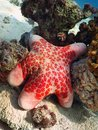 Starfish in Red sea coral reef Royalty Free Stock Photo