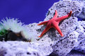 Starfish red star fish in fish tank on rock Royalty Free Stock Photo