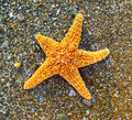 Starfish on sea coast Royalty Free Stock Photos