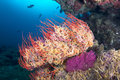 Starfish on seafan a sea fan is engulfed with small colorful called brittle stars which are clinging to the sea fan so they Stock Image