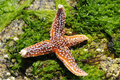 Starfish on seaweed Stock Image