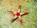 Starfish the surprising underwater world of philippine sea island mindoro Royalty Free Stock Photo