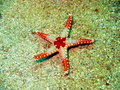 Starfish the surprising underwater world of philippine sea island mindoro Royalty Free Stock Photos