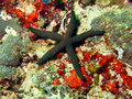 Starfish the surprising underwater world of philippine sea island mindoro Royalty Free Stock Images