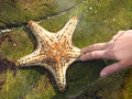 Sea star in touch pool Royalty Free Stock Photo