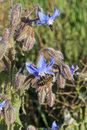 Starflower and bee blue flowers of borage borago officinalis Royalty Free Stock Image