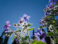 Starflower, Borago officinalis Royalty Free Stock Photo