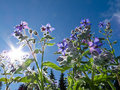 Starflower, Borago officinalis, and summer sun Royalty Free Stock Image