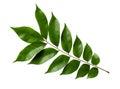 Starfruit Leaf Royalty Free Stock Photo