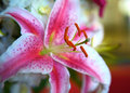 Stargazer Lily up close Stock Image