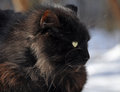 Staring black cat striking and fierce looking fluffy with wide yellow golden eyes Stock Image