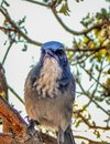 Staring Blue Jay Bird on a Branch Royalty Free Stock Photo