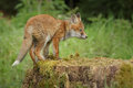 Staring fox young at something in the distance whilst standing on an old tree stump Royalty Free Stock Images