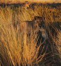 Staring lioness standing in tall grass at sunrise Royalty Free Stock Images