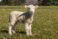 Staring little lamb on green meadow Stock Photos