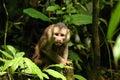 The Staring Monkey 2 Stock Image