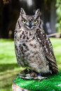 Staring owl close shot of a beautiful bird of prey Stock Photography