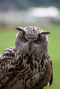Staring Owl Royalty Free Stock Photo
