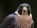 Staring peregrine falcon a close up of the face of a falco peregrinus at the camera these birds are the fastest animals in the Royalty Free Stock Images