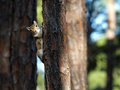 Staring squirrel looking at camera while hanging on to a tree trunk Royalty Free Stock Photo