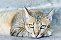 Staring tabby cat laying on the ground Stock Photo