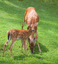 Staring whitetail deer fawn looking at something while mom eats Stock Images