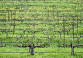 Stark vineyard rows in Winter Royalty Free Stock Photo