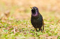 Starling Royalty Free Stock Image