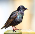 Starling bird colourful common european Royalty Free Stock Photo
