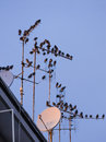 Starling bird flock flying and perching in urban environment Stock Photo