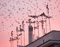 Starling bird flock Royalty Free Stock Photo