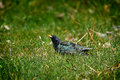 Starling bird on the grass sitting with blurred background Stock Photography