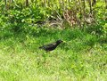 Starling bird on green grass, Lithuania Royalty Free Stock Photo