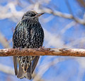 Starling on a branch Stock Images