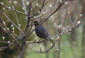 Starling on branch of tree sitting at spring Stock Photo