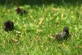 Starling in green grass bird Stock Photography