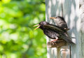 Starling and his nestling this is Royalty Free Stock Images