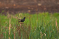 Starling on the meadow in late evening Royalty Free Stock Photos