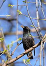 Starling singing Royalty Free Stock Photo