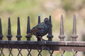 Starling sits on a metal fence sunny day Stock Photos