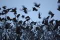 Starling sturnus vulgaris a flock of birds going to roost in tree dumfries scotland winter Royalty Free Stock Image