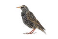 Starling Royalty Free Stock Photo