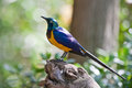 Starling tropical colorful bird tree trunk Stock Images