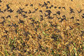 Starlings flying in the background of corn fields Royalty Free Stock Photo