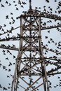 Starlings gather at dusk a flock of on an electricity pylon Stock Images