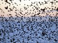 Starlings roosting at evening time Stock Image