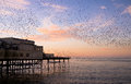 Starlings Roosting at Sunset Royalty Free Stock Photo
