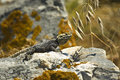 Starred agama lizard laudakia stellio on a rock at the island of delos in greece Stock Photo